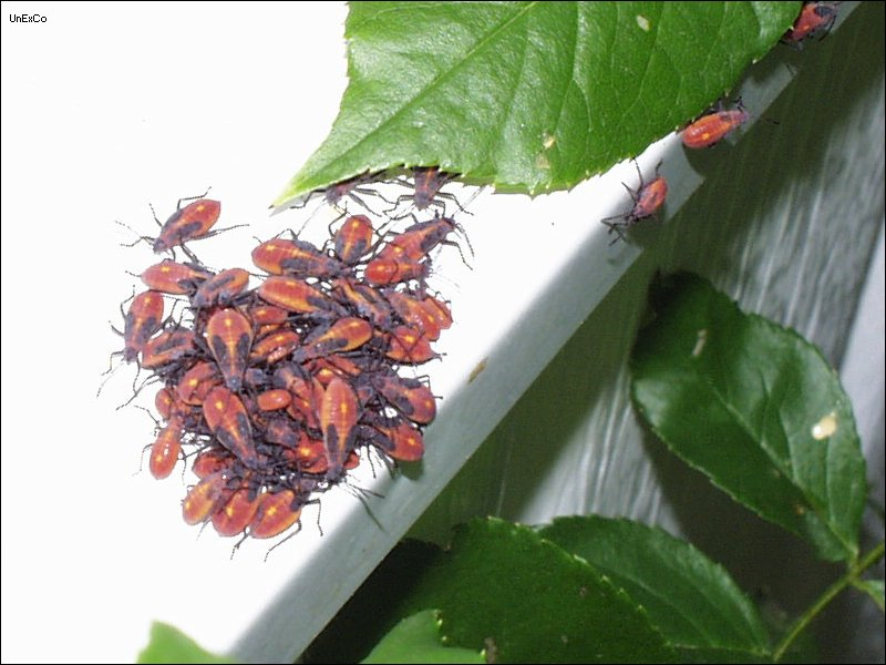 Box Elder Bug Page United Exterminating Company Cherry Hill Nj