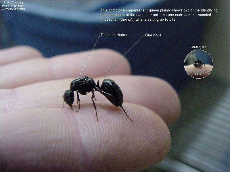 Picture of Carpenter ant queen - United Exterminating ...