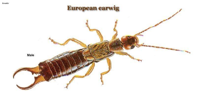 earwig.jpg