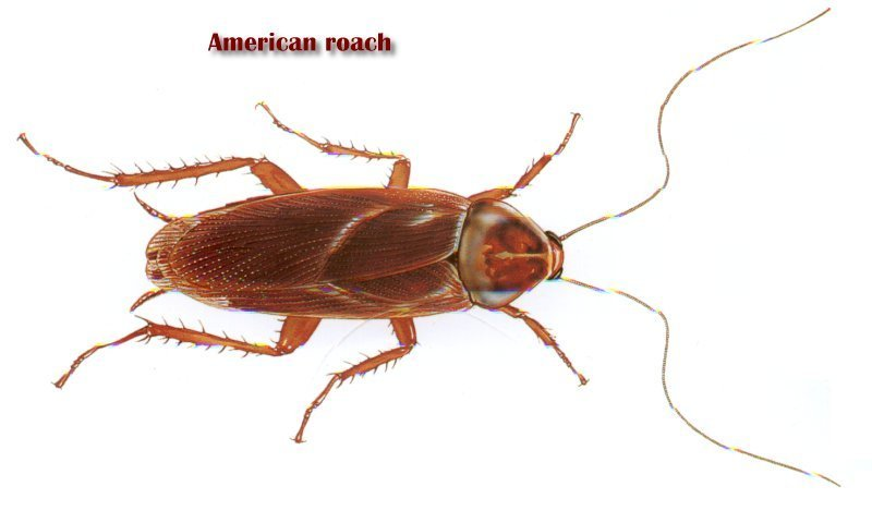Roaches and their Control - United Exterminating Company - Cherry ...