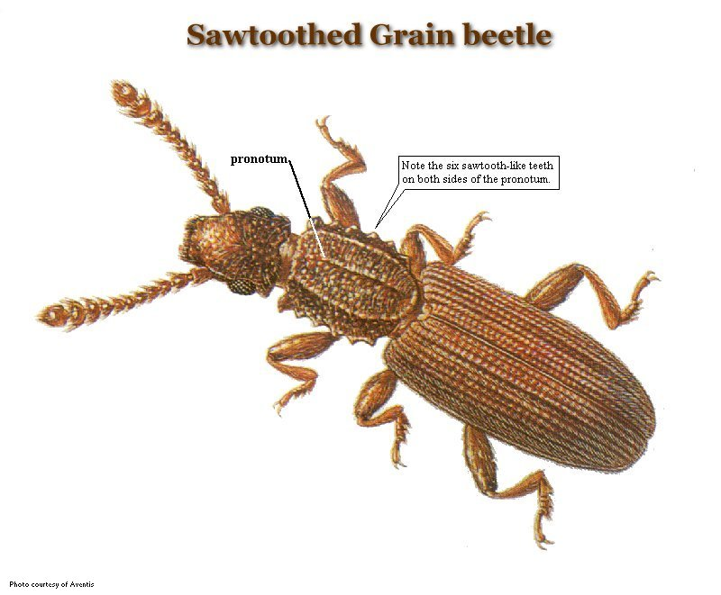 Sawtoothed grain beetle. Common Stored Product Pests   United Exterminating Company